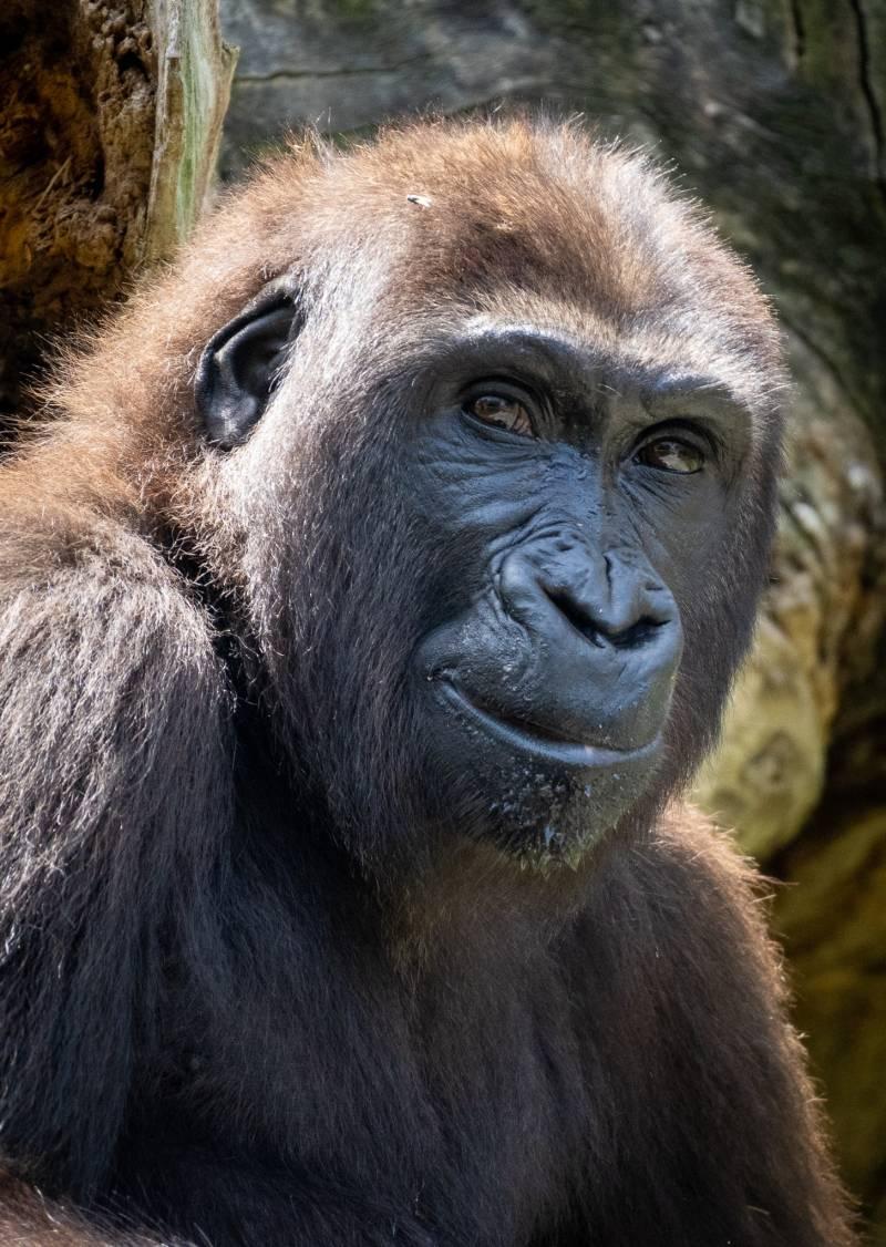 La gorila Virunga del Bioparc cumple 5 años. EPDA