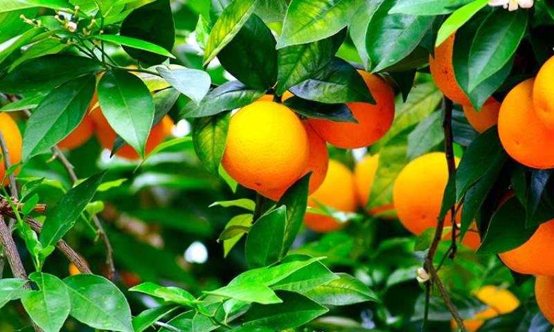 Imagen de archivo campo de naranjas./ EPDA