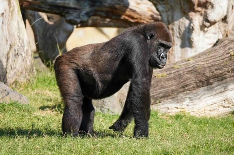 Fossey cumple 22 años en BIOPARC Valencia.