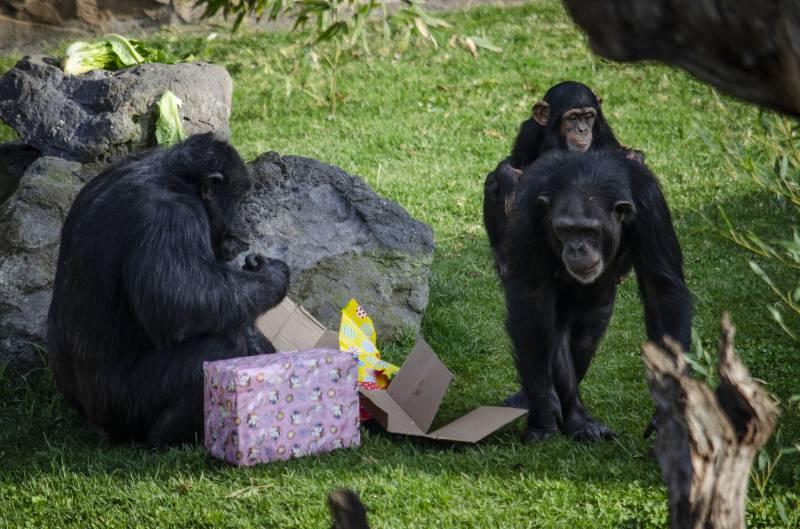 Enero 2020 - Los animales de BIOPARC Valencia reciben los regalos de los Reyes Magos, familia de chimpancés