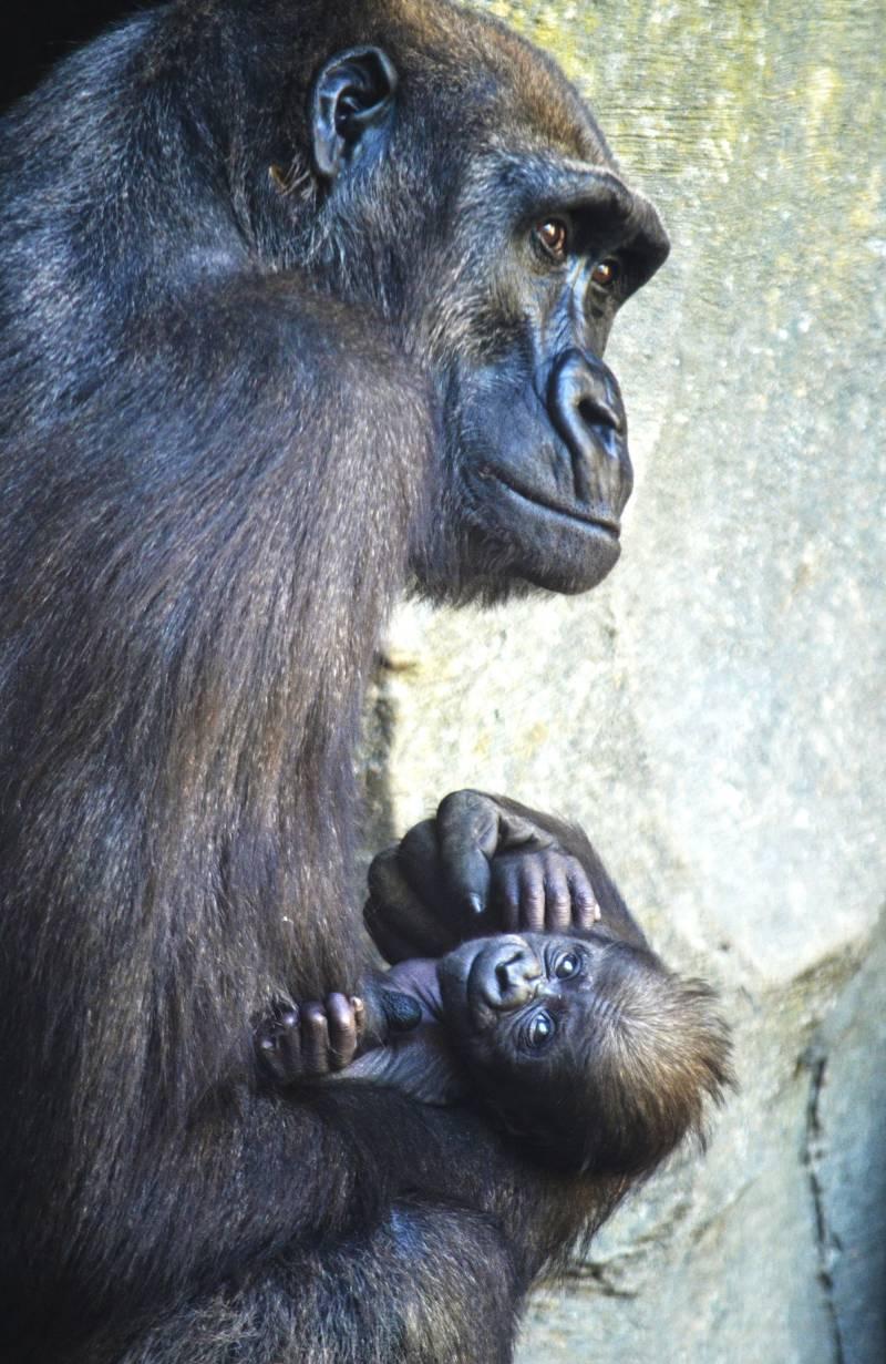 1f15accdf617 El bebé gorila de BIOPARC Valencia se llama Félix en honor a Rodríg