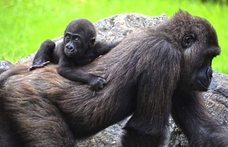 Gorila Pepe cumple 6 meses con Ebo - BIOPARC Valencia
