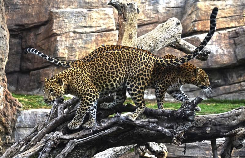 Enero 2018 - leopardos en el bosque ecuatorial de Bioparc Valencia