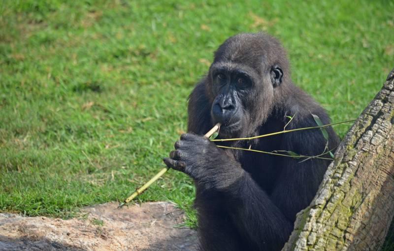 El gorila EBO celebra su 6 cumpleaños - BIOPARC Valencia - 26 octubre 2018