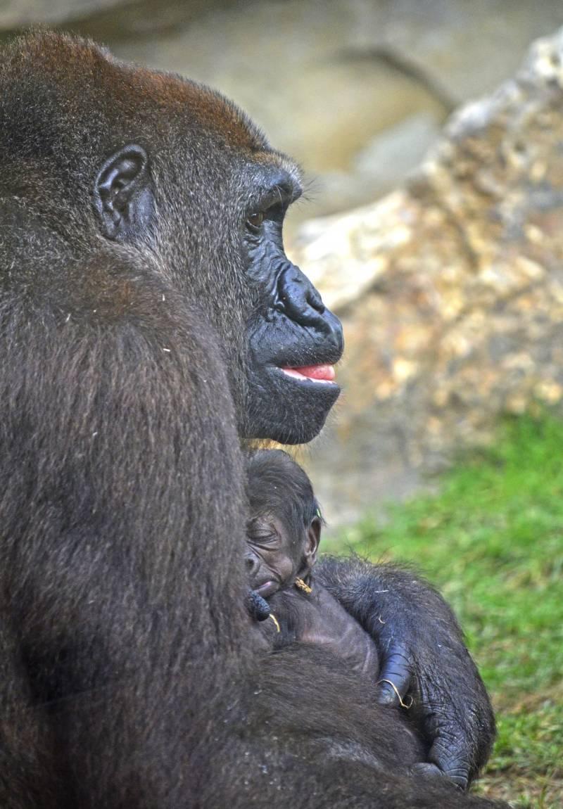 Bebe gorila recién nacido en BIOPARC Valencia