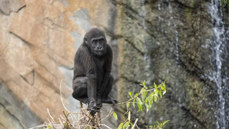 Pepe el gorila en Bioparc. EPDA.
