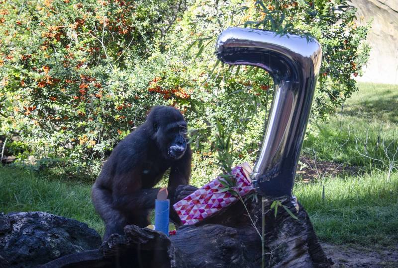 Octubre 2019 - Ebo el primer gorila nacido en BIOPARC celebra su 7 cumpleaños
