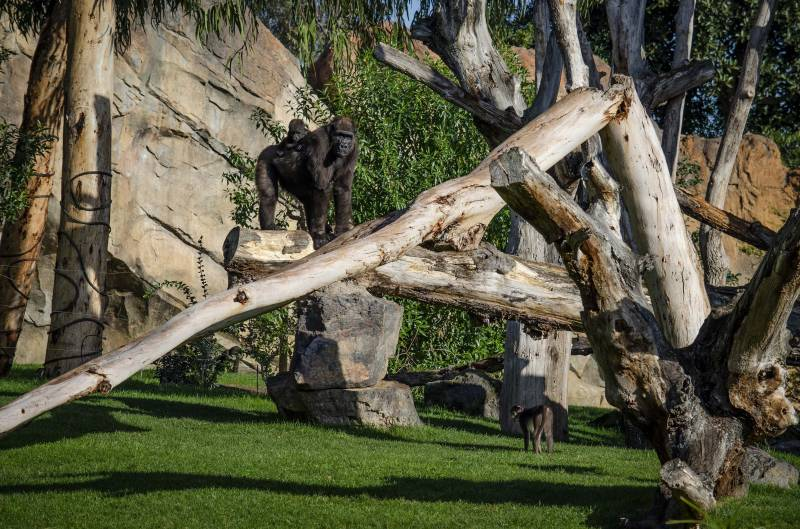 Febrero 2020 - BIOPARC Valencia - gorilas y mangabeys