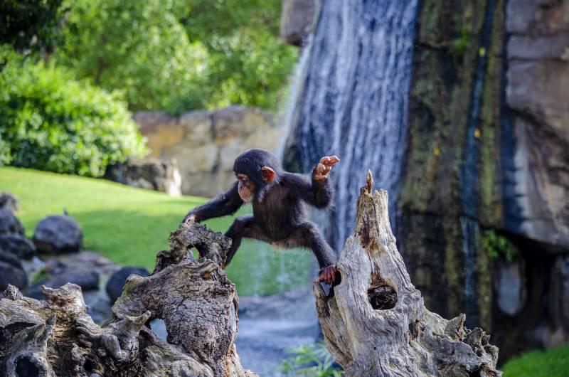 El bebé chimpancé Coco trepando por los árboles BIOPARC Valencia