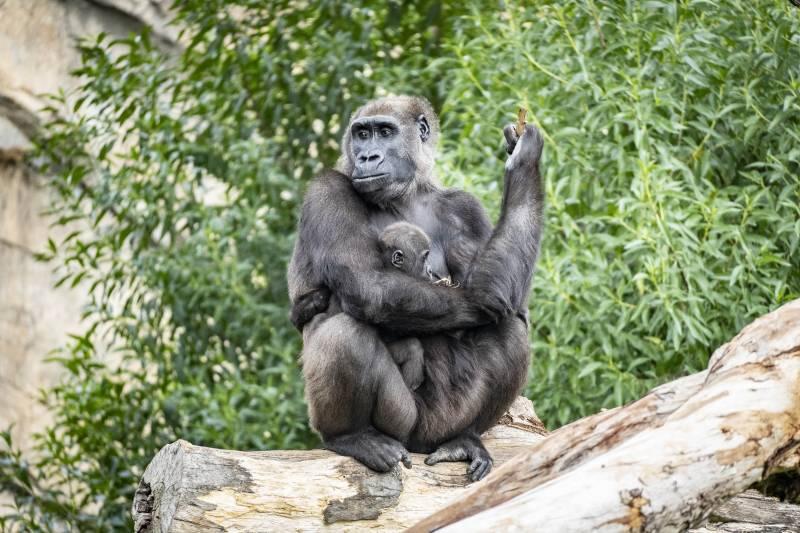 Diciembre 2019 - BIOPARC Valencia - La gorila Ali y su bebé Félix
