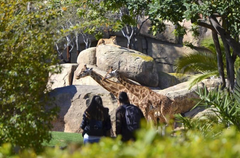 En companía - marzo 2019 - jirafas y leones - BIOPARC