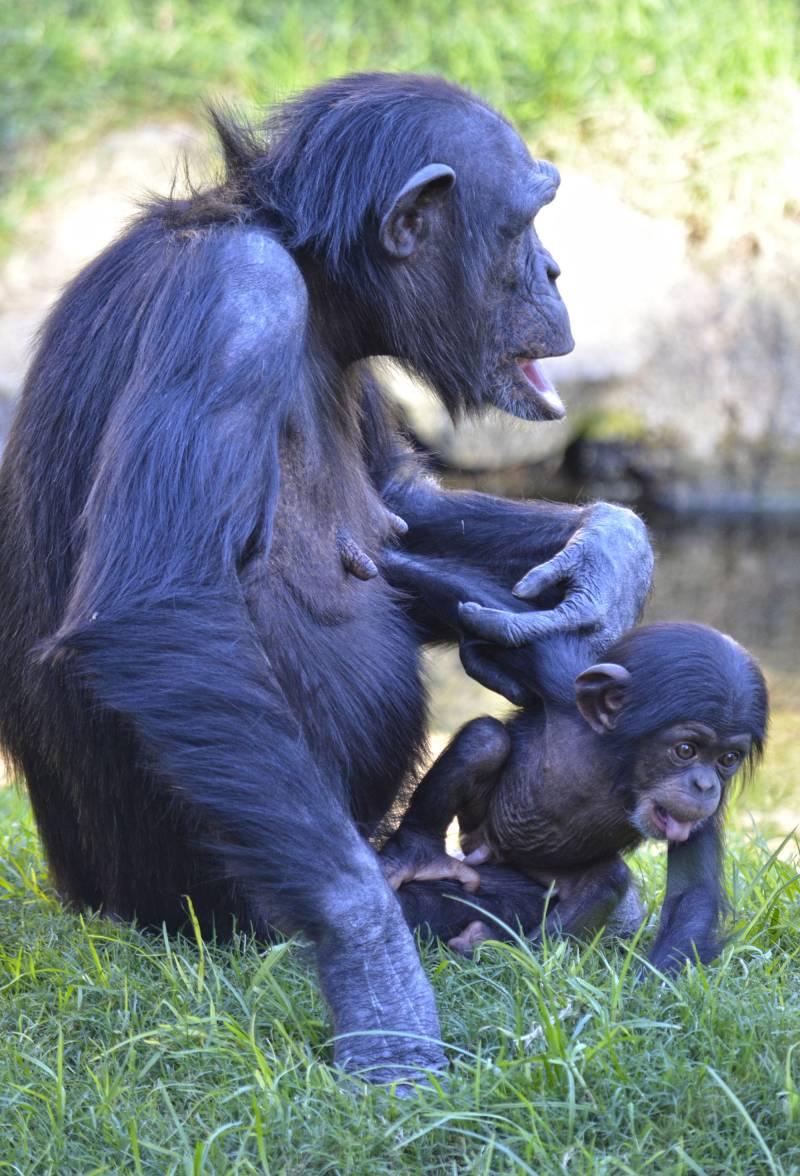 Octubre 2018 - El bebé chimpancé COCO comienza a explorar la selva africana de BIOPARC