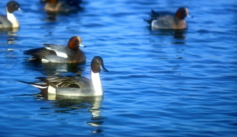 Les mesures per assegurar la tranquil·litat de les aus aquàtiques a la llacuna de l'Albufera han estat un èxit