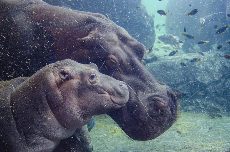 El bebé hipopótamo de BIOPARC Valencia cumple 6 meses./ EPDA