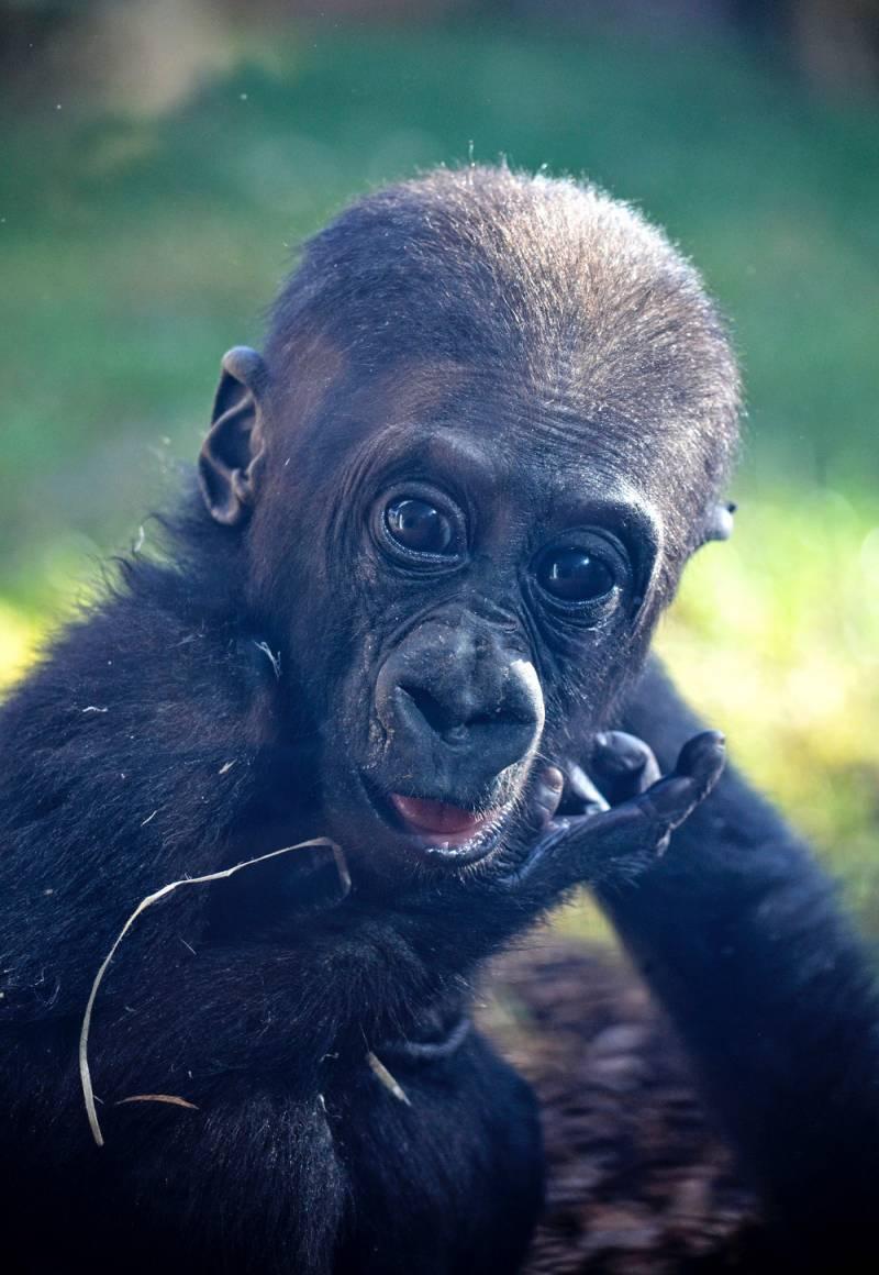 BIOPARC Valencia destina más de 21.000 euros a la conservación de gorilas y chimpancés gracias a los BIOdías