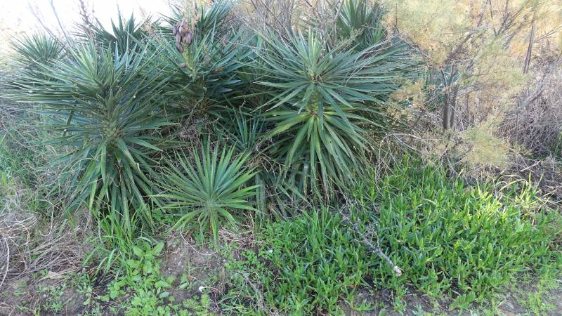 Plantas alóctonas