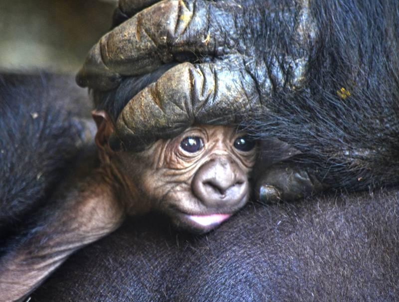 9 marzo - bebé gorila primer plano - BIOPARC Valencia