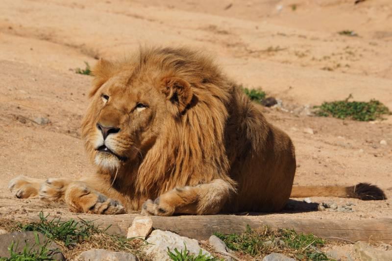 Lisbon Zoo - Lion