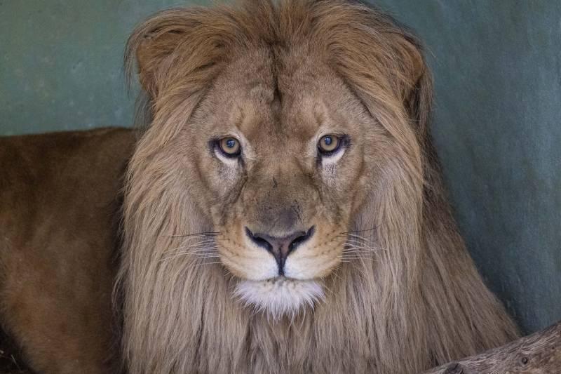 Marzo 2020 - Llega a BIOPARC Valencia el león Lubango