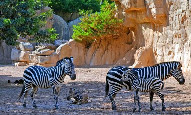 Potros cebras Bioparc