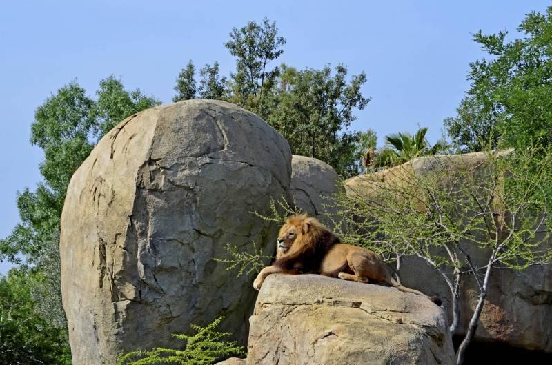 El león Teimoso en BIOPARC Valencia