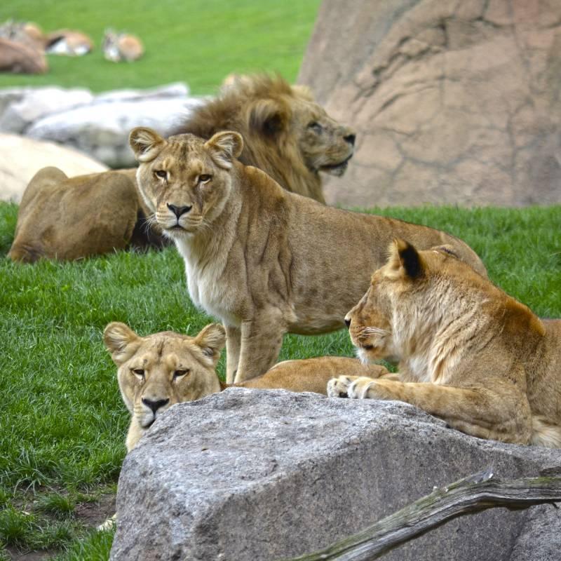 Manada de leones en BIOPARC Valencia - primavera 2019