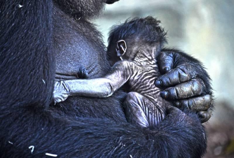8 marzo - bebé gorila recién nacido BIOPARC Valencia