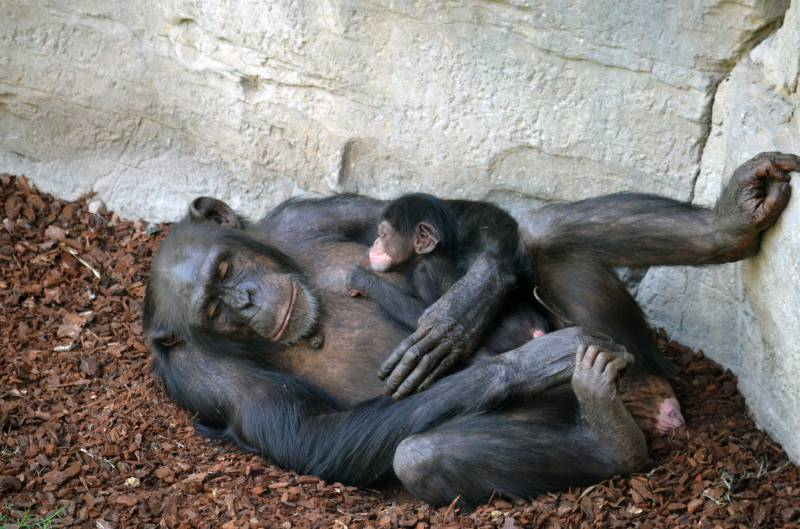 BIOPARC Valencia recibe con gran alegría el nacimiento de un chimpancé a la vista del público
