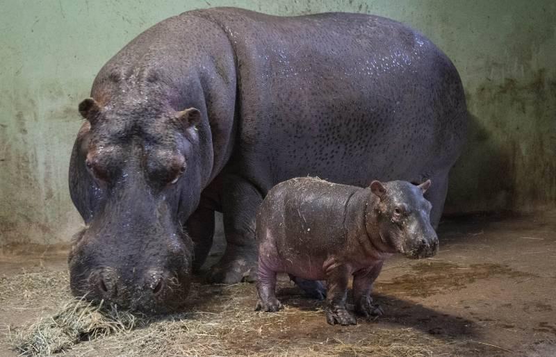 Bebé hipopótamo en BIOPARC Valencia. VIU