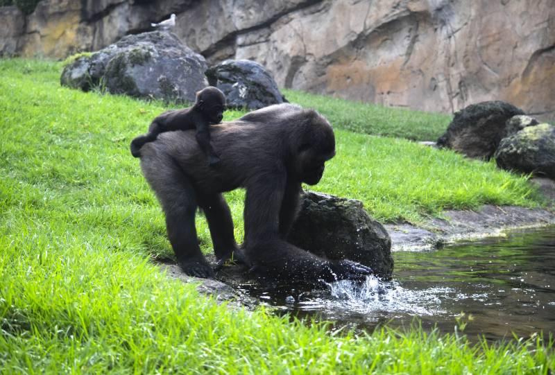 Gorilas - Ebo y Pepe - BIOPARC Valencia.