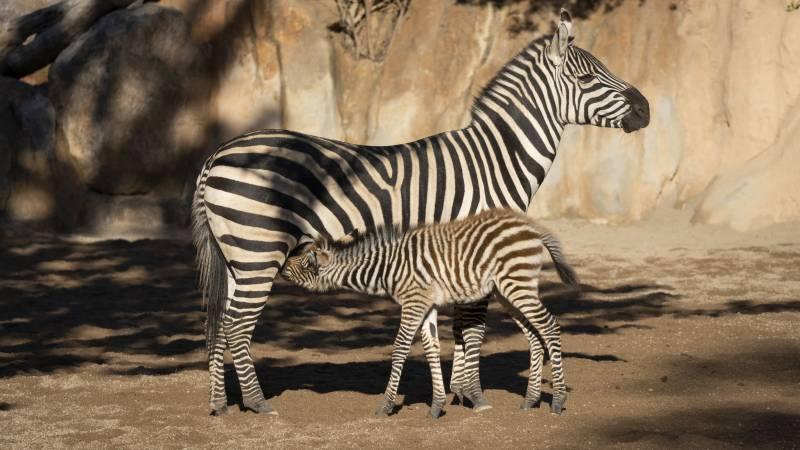 Ambos animales en el Bioparc. EPDA.