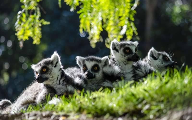 Lémures en el Bioparc. EPDA.