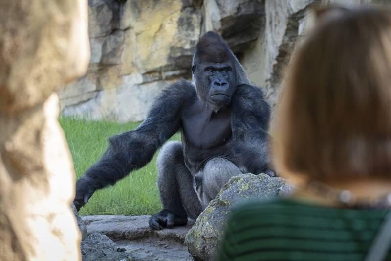 Una visitante observando al gorila Kabuli.