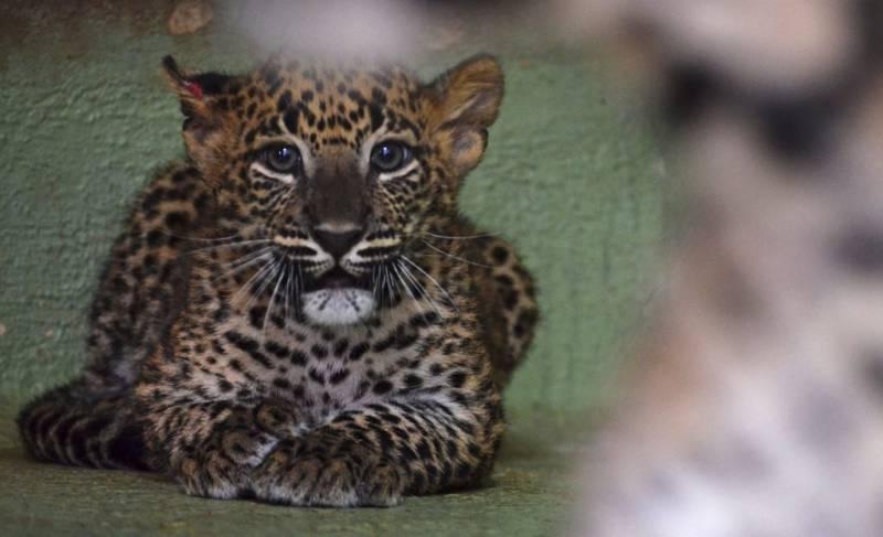 Cachorro de leopardo, cobijo-interior de BIOPARC-Valencia