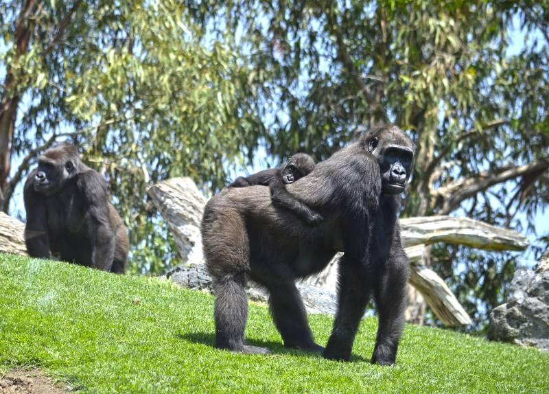 Gorilas en BIOPARC - Ali y Mbeli