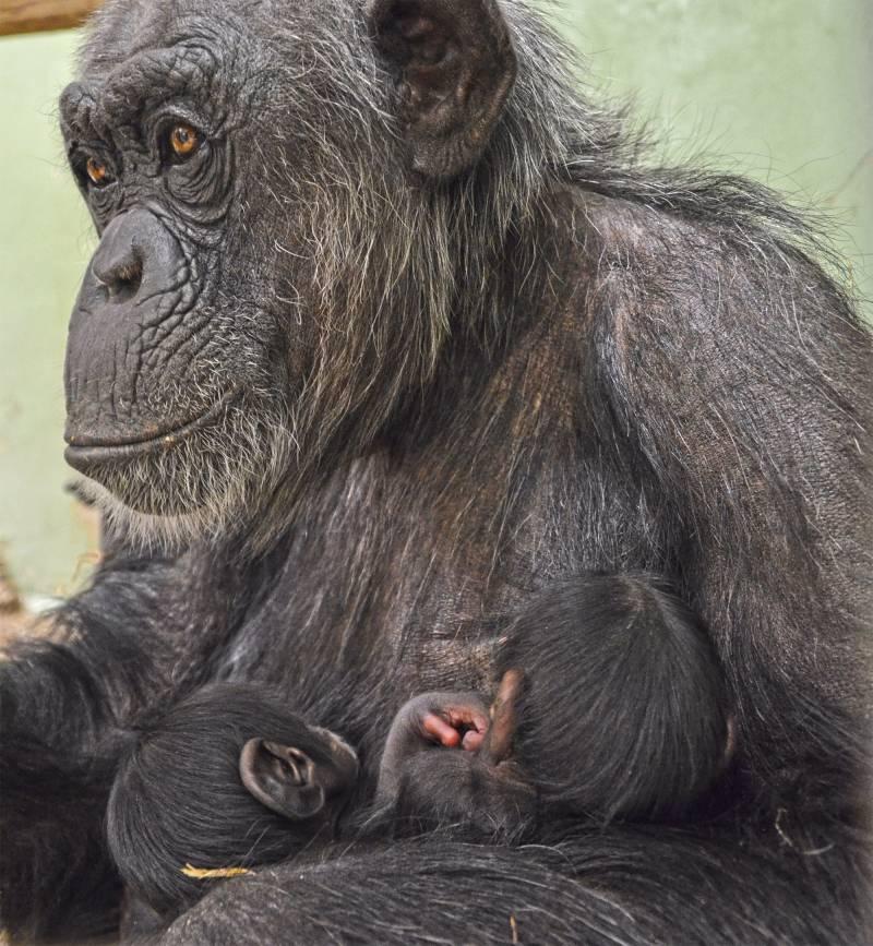 Excepcional nacimiento de mellizos de chimpancé en BIOPARC Valencia