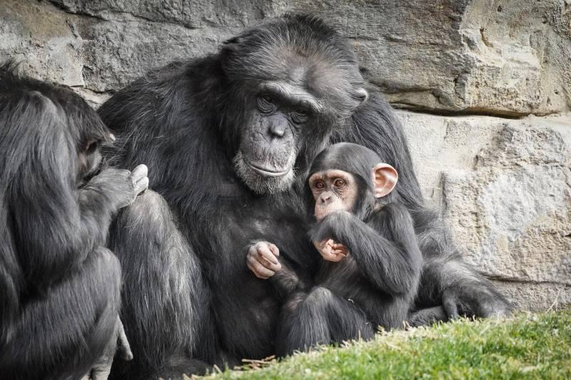 Enero 2020 - BIOPARC Valencia - El chimpancé Moreno y su bebé Coco quien ha cumplido 18 meses