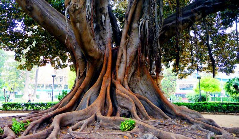 ¿Dónde está el árbol más viejo de Valencia?