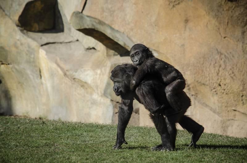 Enero 2020 - BIOPARC Valencia - Los bebés gorila Virunga y Pepe