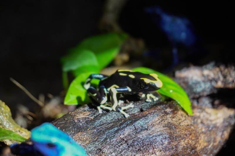 """BIOPARC Valencia incorpora la venenosa y llamativa rana """"flecha amarilla y azul"""""""
