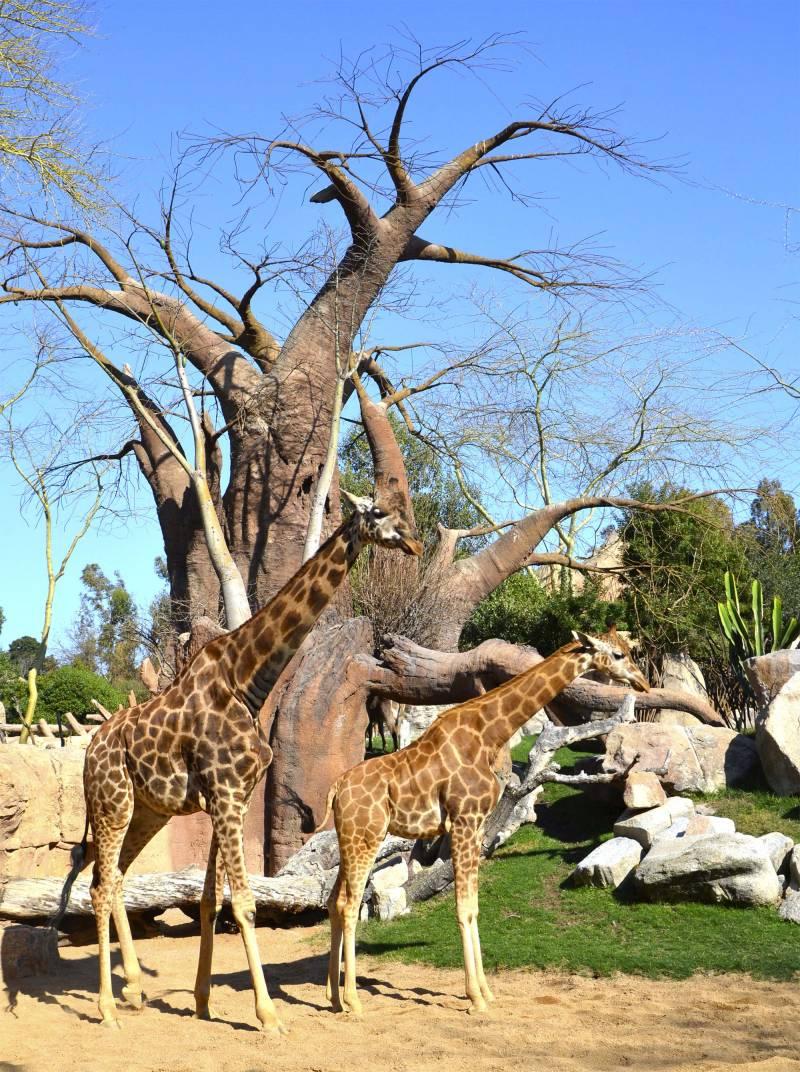 Marzo 2019 - Dos jirafas en la Sabana africana de BIOPARC Valencia