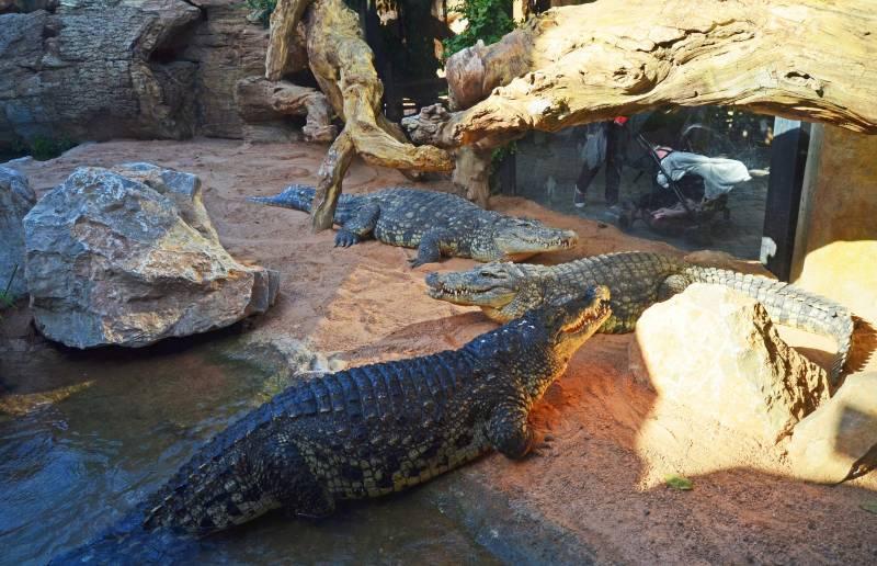 BIOPARC Valencia recibe tres cocodrilos del Nilo - 2018