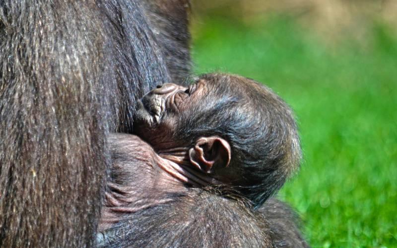 BIOPARC Valencia - bebé gorila nacido 11 abril 2019