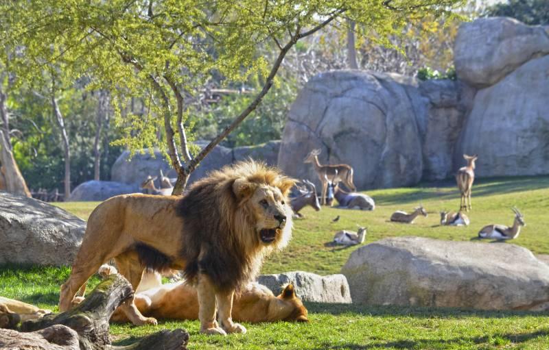 BIOPARC Valencia - Once años dejando huella - Cara a cara con los animales salvajes - leones y antílopes