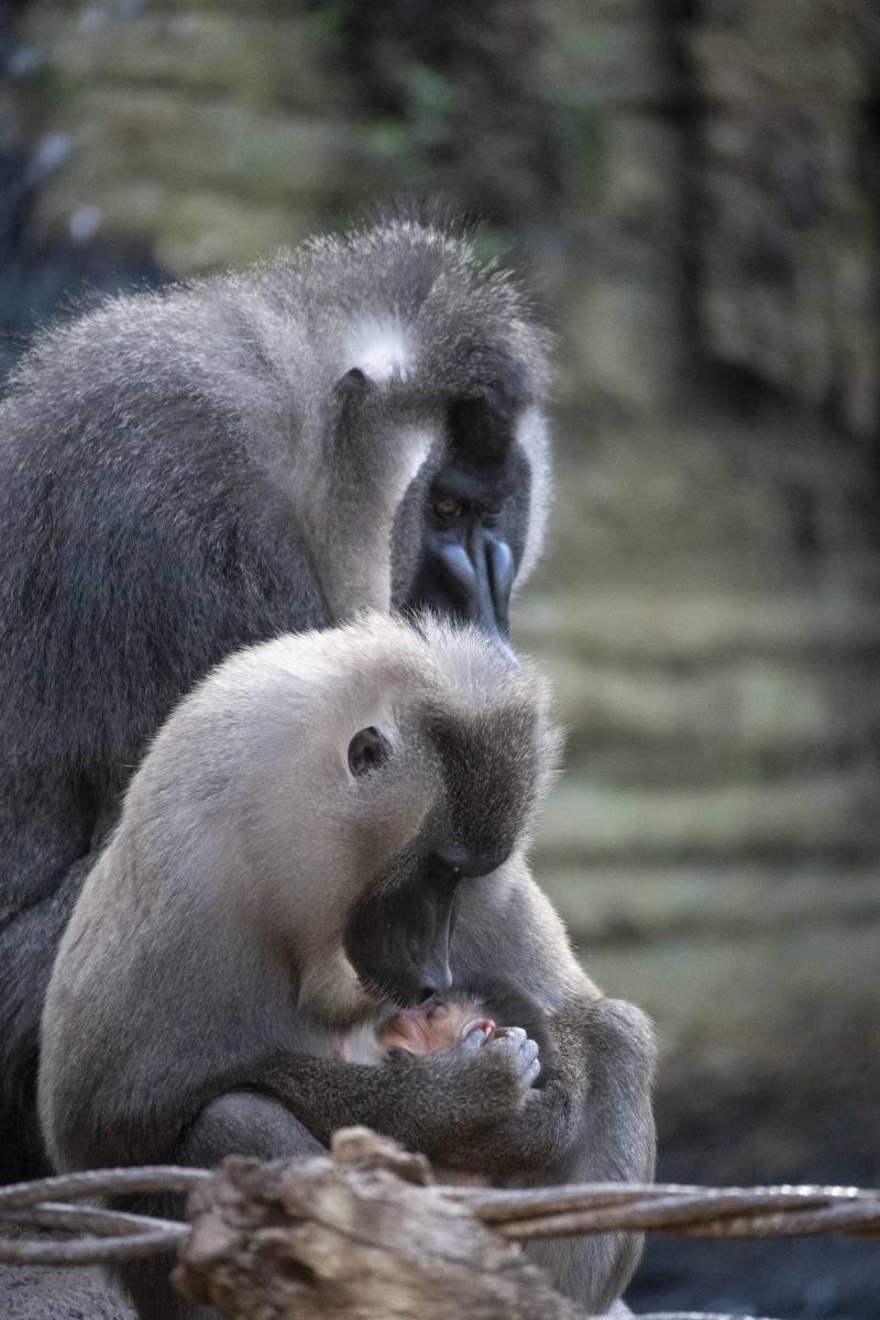Caldo caliente para los gorilas. EPDA.