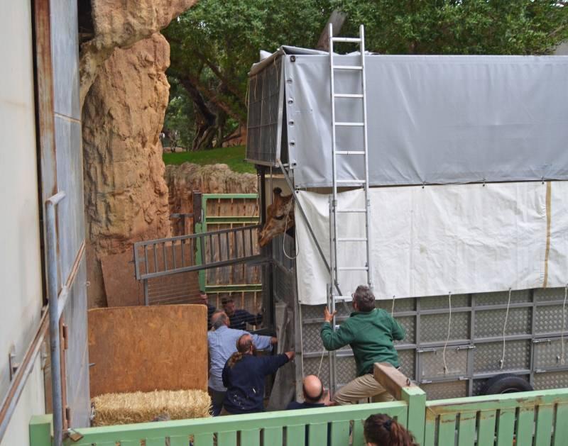 Primavera 2019 - Traslado de jirafas de BIOPARC Valencia a Cabárceno