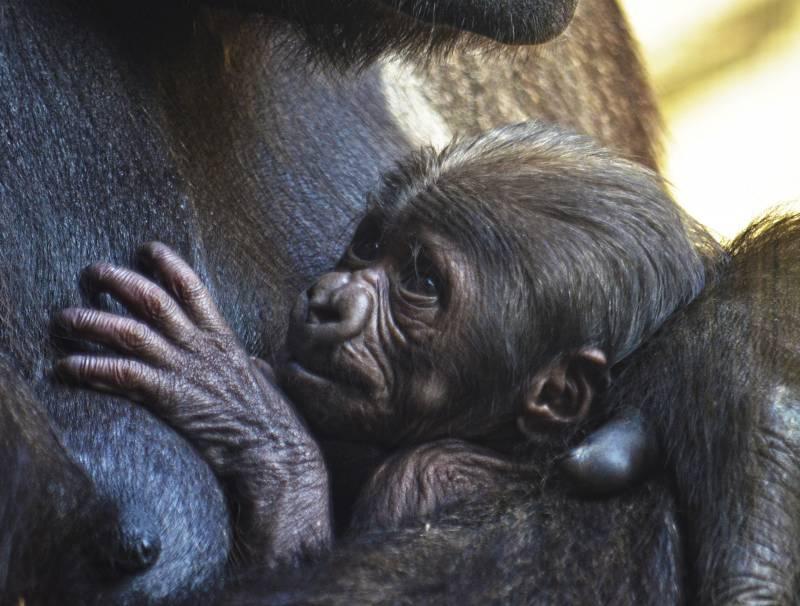 La gorila Ali y su bebe - primera semana- BIOPARC Valencia 2019