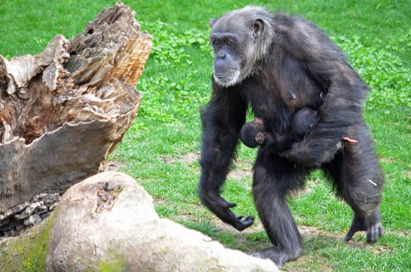 Marzo 2019 - Mellizos de chimpancé en BIOPARC Valencia
