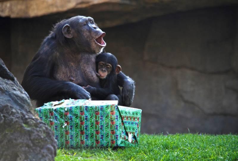 Chimpancés - Noelia y Coco - Papá Noel entrega los regalos a los animales de BIOPARC Valencia  diciembre 2018