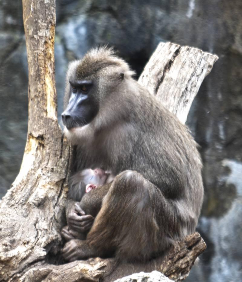 Nuevo nacimiento en BIOPARC Valencia de uno de los primates más amenazados de África